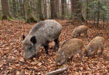 Fauna selvatica: Confagricoltura chiede misure urgenti