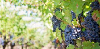 """Panicale, tradizione e folklore: la """"Festa dell'uva"""""""