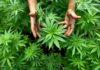 Cannabis terapeutica: a Terni il corso di UIL e FPL per i professionisti