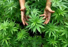 """""""Cannabis, il farmaco e la droga"""": Uil presenta il corso di formazione"""