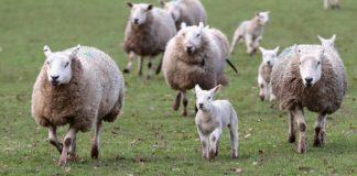 Trebbie di birra per l'alimentazione degli agnelli